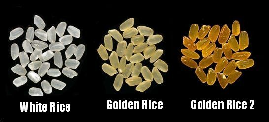 Golden rice evolution
